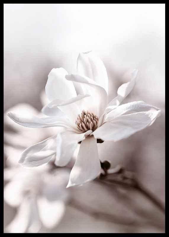 Flowering Star Magnolia-2