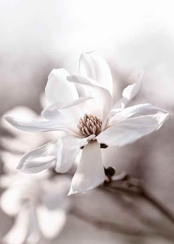 Flowering Star Magnolia-3
