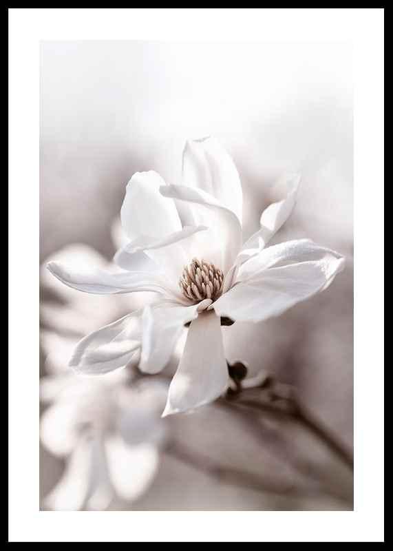 Flowering Star Magnolia