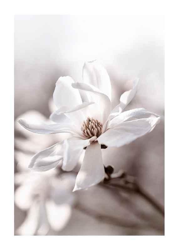 Flowering Star Magnolia-1