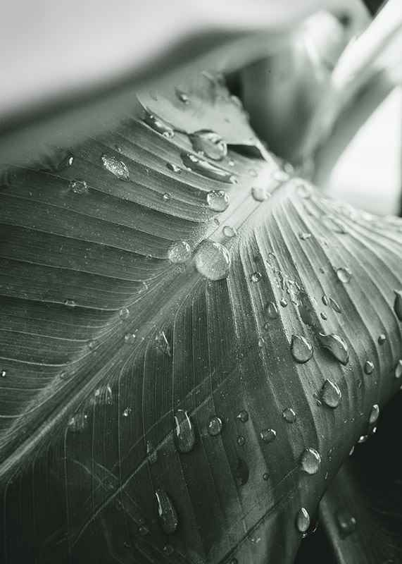 Palm Leaf Raindrops-3
