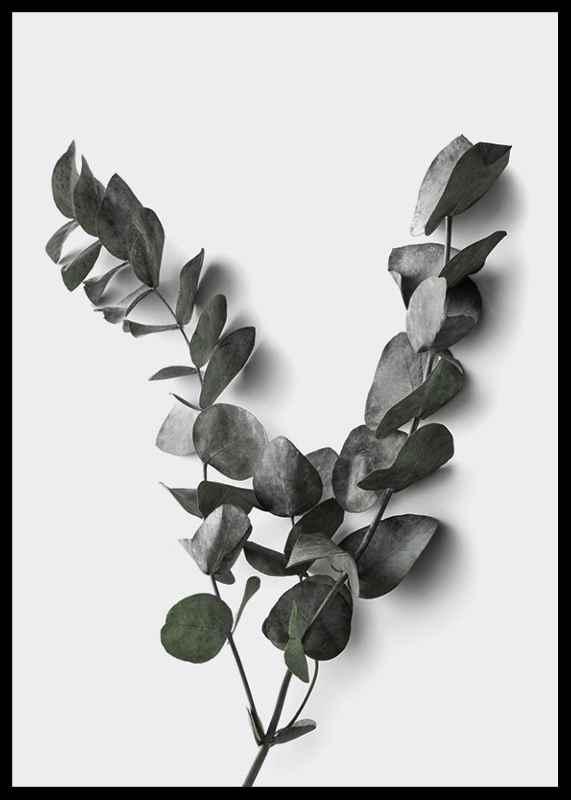 Eucalyptus No3-2