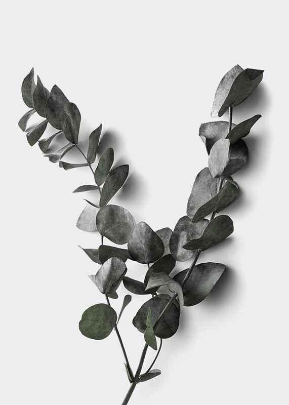 Eucalyptus No3-3