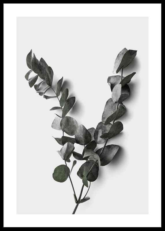 Eucalyptus No3-0