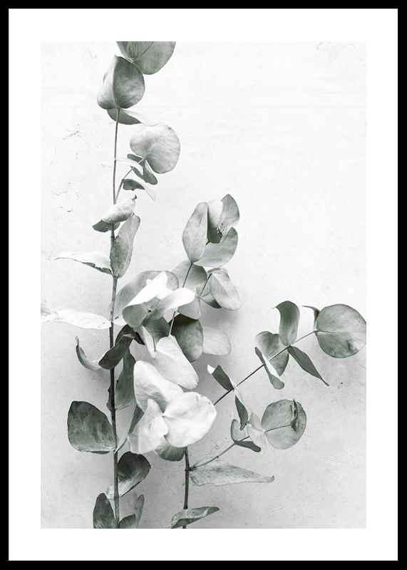 Eucalyptus No4-0