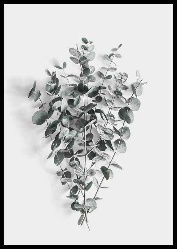 Eucalyptus No5-2