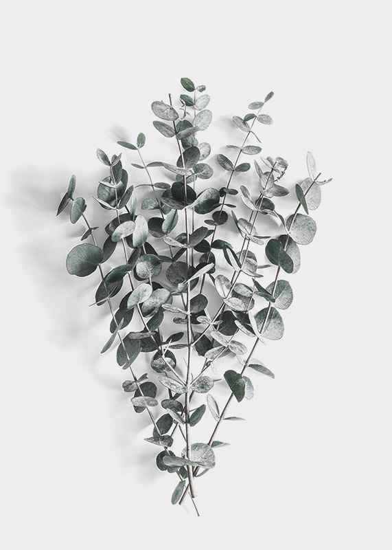 Eucalyptus No5-3