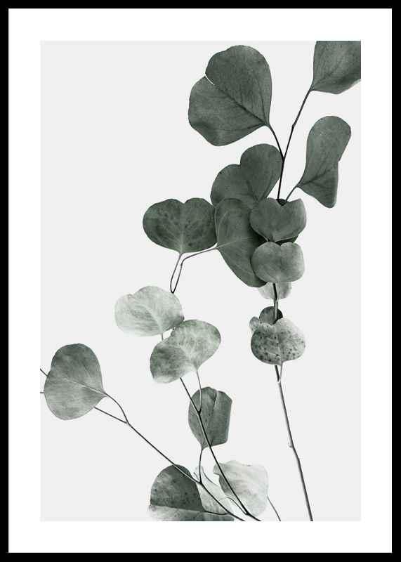 Eucalyptus No7-0