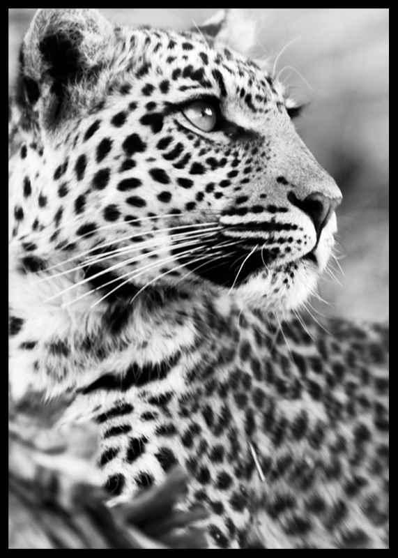 Leopard B&W-2