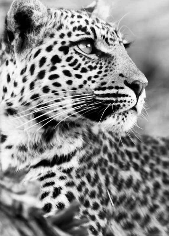 Leopard B&W-3
