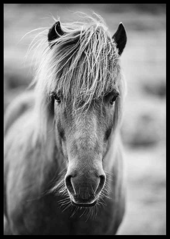 Icelandic Horse B&W-2