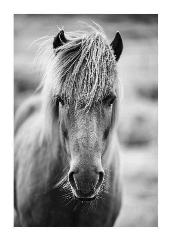 Icelandic Horse B&W-1
