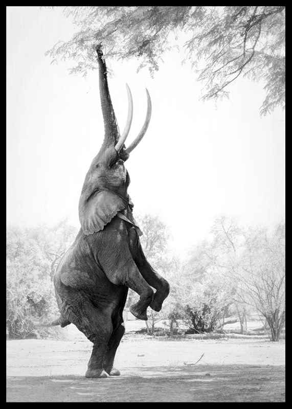 Standing Tall Elephant-2