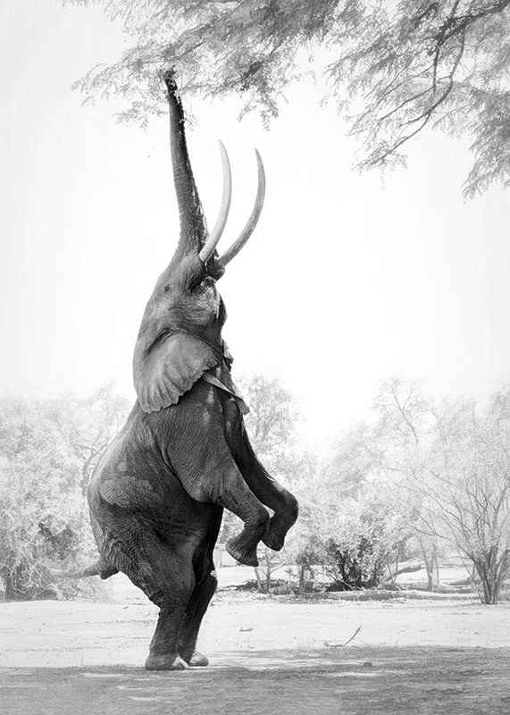 Standing Tall Elephant-3