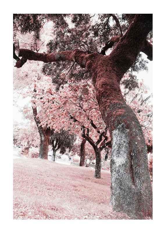 Pink Trees No2-1