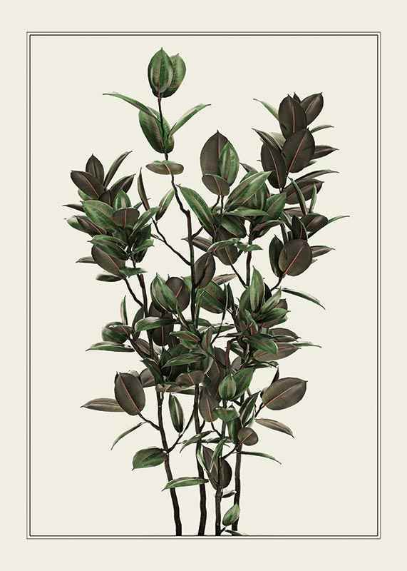 Ficus Robusta-1