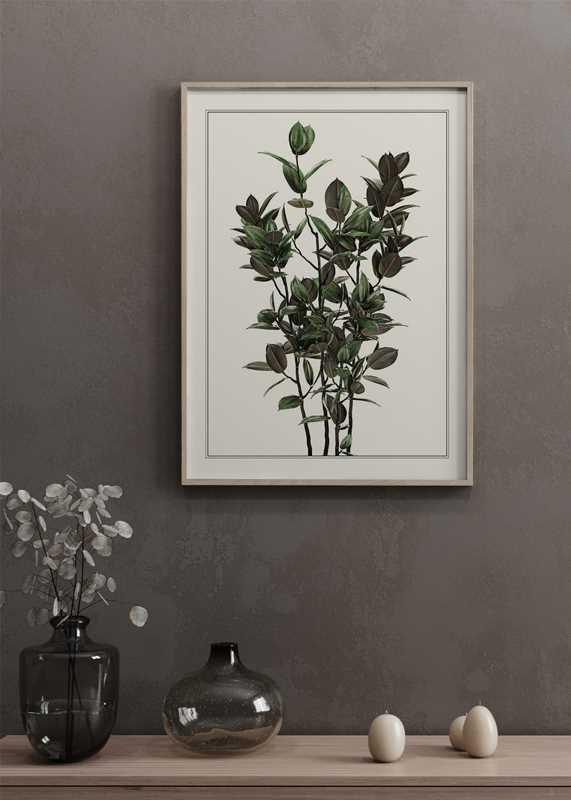 Ficus Robusta-2
