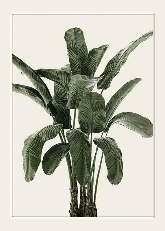 Banana Palm-1