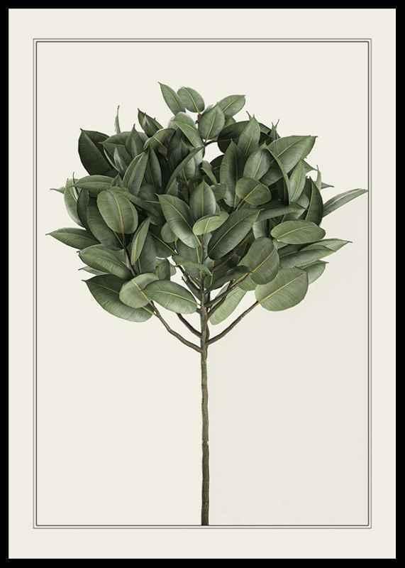 Ficus Elastica-0