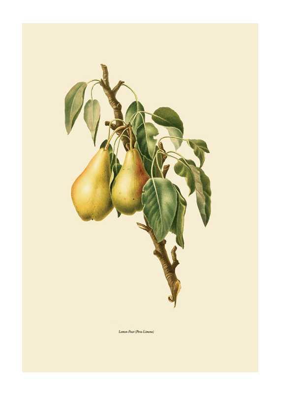 Lemon Pear-1
