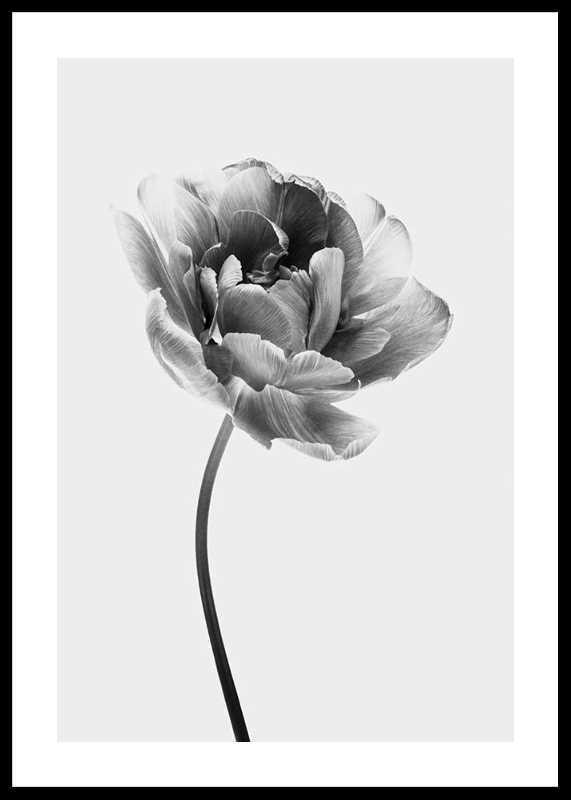 Tulip Flower B&W-0