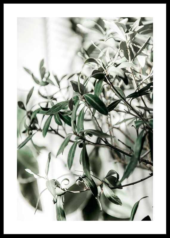 Olive Tree-0
