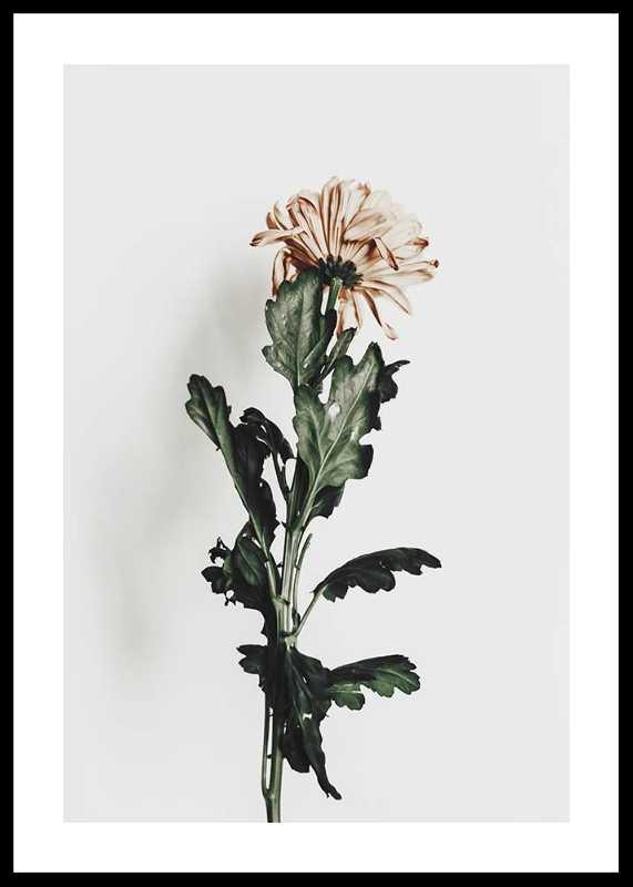 Chrysanthemum No1-0