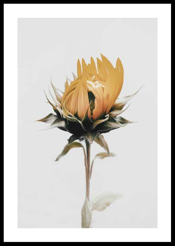 Yellow Sunflower-0