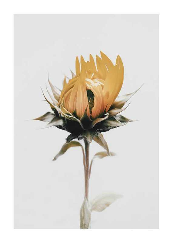 Yellow Sunflower-1