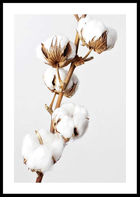 Cotton-0